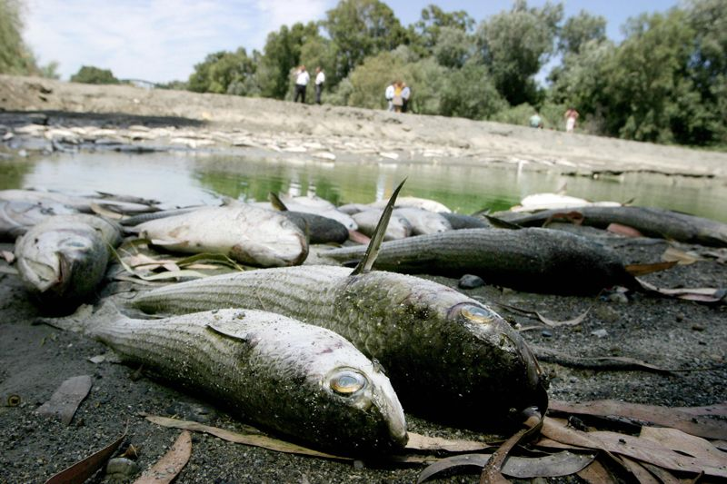 Dead fish on the banks of the Guadiaro River in southern Spain during severe drought